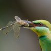 Bee Eater with lunch!