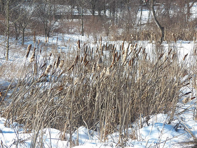 cattails in the snow, February 2, 2016