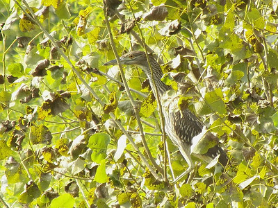 immature Black-crowned Night-heron, Angelica Park, Reading, August 20,2013