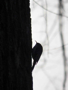 Brown Creeper, February 2, 2016