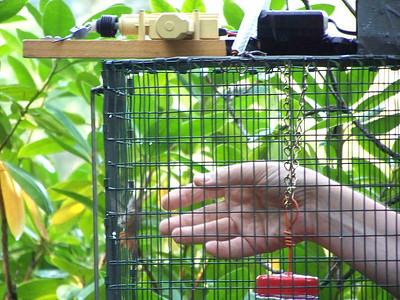 hummingbird in trap, September 27, 2009