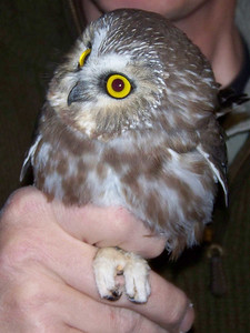 Saw-whet Owl at banding station, October 22, 2010
