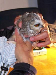 Saw-whet Owl banding, October 22, 2010