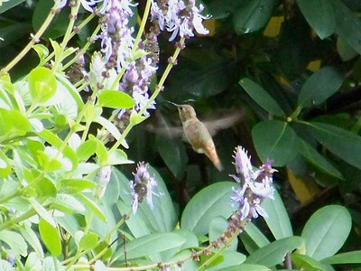 Rufous Hummingbird, September 27, 2009
