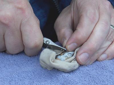 banding a Rufous Hummingbird, September 27, 2009