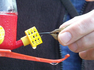 feeding the hummingbird before releasing it after banding, September 27, 2009