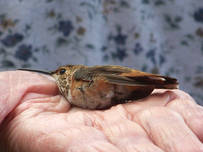 hummingbird about to be released after banding, September 27, 2009