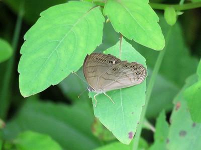 Appalachian Brown butterfly, August 13, 2018