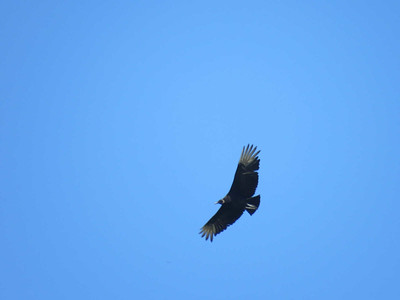 Black Vulture, May 1, 2017