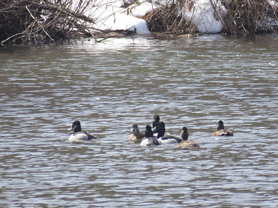 Ring-necked Ducks, March 21, 2017