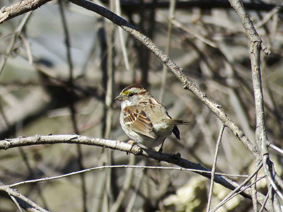 White-throated Sparrow, March 26, 2018