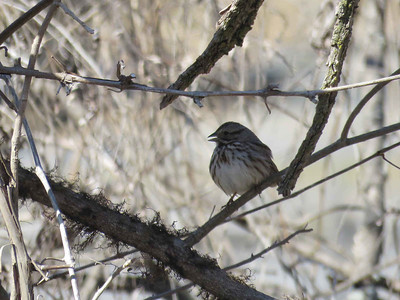 Song Sparrow, March 26, 2018