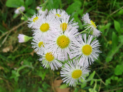 fleabane, May 1, 2017