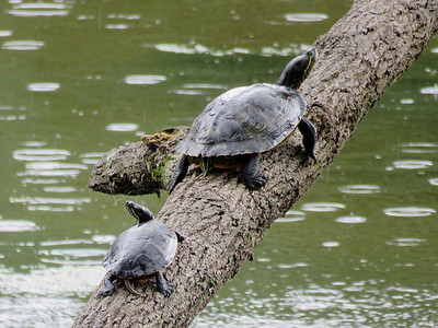 Red-eared Slider and Eastern Painted Turtle, August 13, 2018