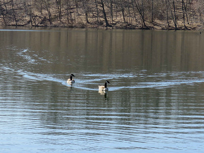 Canada Geese, , March 26, 2018