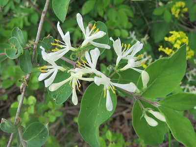 honeysuckle, May 1, 2017