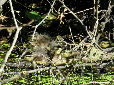 young Wood Duck ducklings on the Union Canal near Red Bridge, June 15, 2019