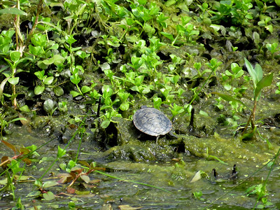 very small turtle on the bank of the Union Canal near Red Bridge, June 15, 2019