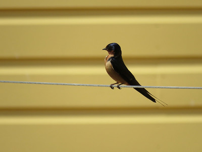 Barn Swallow at the Berks County Heritage Center, June 15, 2019