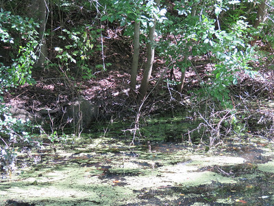 well-camouflaged Wood Duck with ducklings - can you find them?   - on the Union Canal near Red Bridge, June 15, 2019