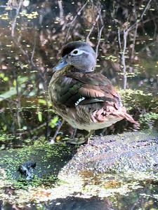 female Wood Duck  on the Union Canal near Red Bridge, June 15, 2019