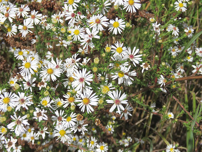 asters, September 27, 2016