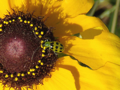 Spotted Cucumber Beetle on Black-eyed Susan, September 27, 2016