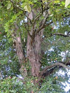 Shagbark Hickory tree, September 27, 2016