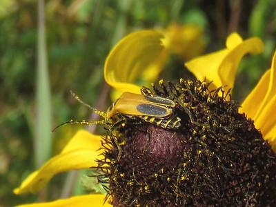 Pennsylvania Leatherwing Beetle (AKA Goldenrod Soldier Beetle) on Black-eyed Susan, September 27, 2016