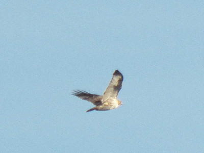 Red-tailed Hawk with dark patches on wings, seen from  Hawk Mountain's North Lookout, November 16, 2013