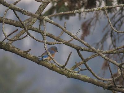 Eastern Bluebird near the Lake Ontelaunee Dam, January 21, 2018