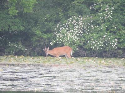 deer apparently eating water lilies, May 31, 2017