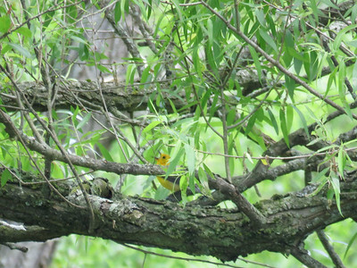 Prothonotary Warbler at Bailey's Creek, May 31, 2017