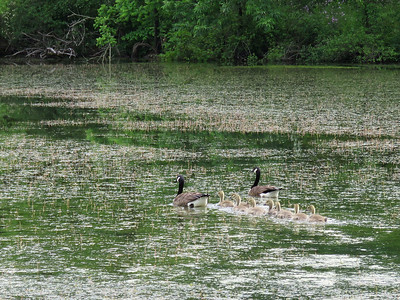 Canada Geese with goslings, Peter's Creek, May 31, 2017