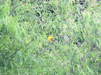 Prothonotary Warbler at Peter's Creek cove, May 31, 2017