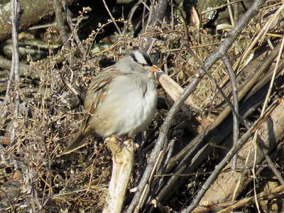 adult White-crowned Sparrow,  Peter's Creek, January 15, 2017