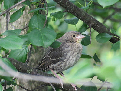 baby Brown-headed Cowbird (seen being fed by chickadees), May 31, 2017
