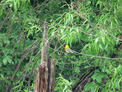 prothonotory warbler 5