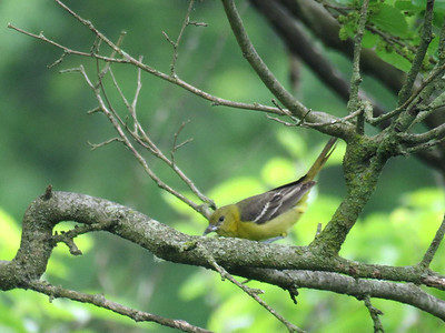 female Orchard Oriole at Peter's Creek, May 31, 2017