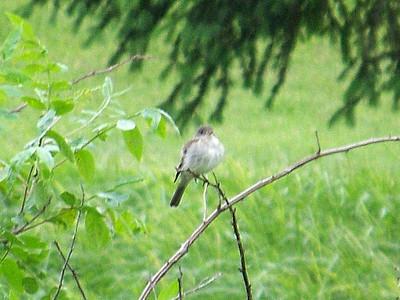 Willow Flycatcher, June 5, 2011