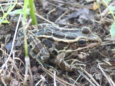 Pickerel Frog, June 17, 2012