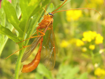 Enicospilus purgatus (an Ichneumon wasp), June 17, 2012