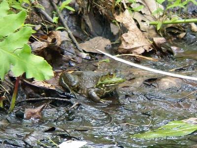 Green Frog, June 17, 2012