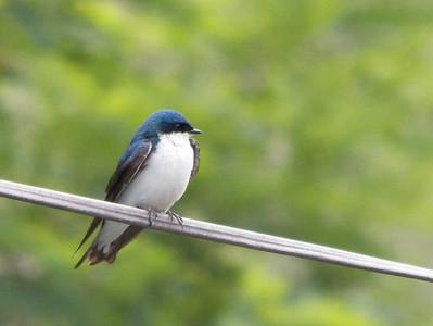 Tree Swallow, June 17, 2012