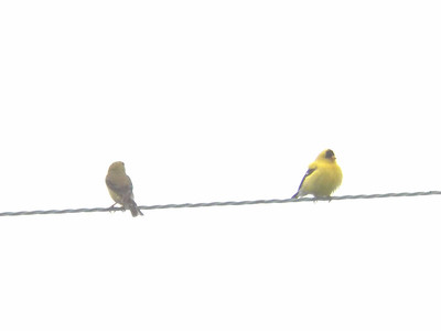 American Goldfinches, June 17, 2012