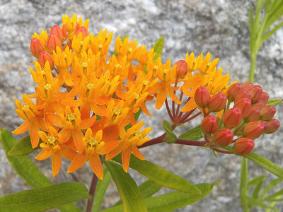 Butterfly weed, June 17, 2012