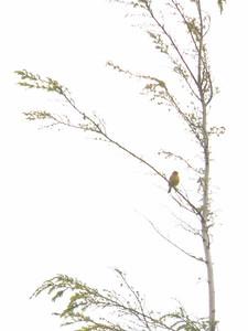 Prairie Warbler, June 17, 2012