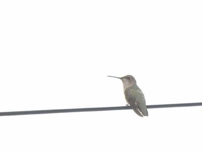 Ruby-throated Hummingbird, June 17, 2012