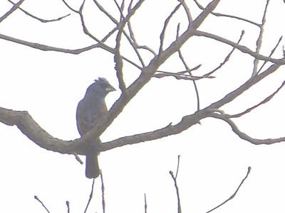 male Blue Grosbeak, June 5, 2011