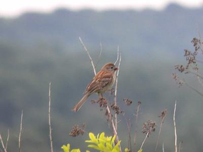 Field Sparrow, June 17, 2012